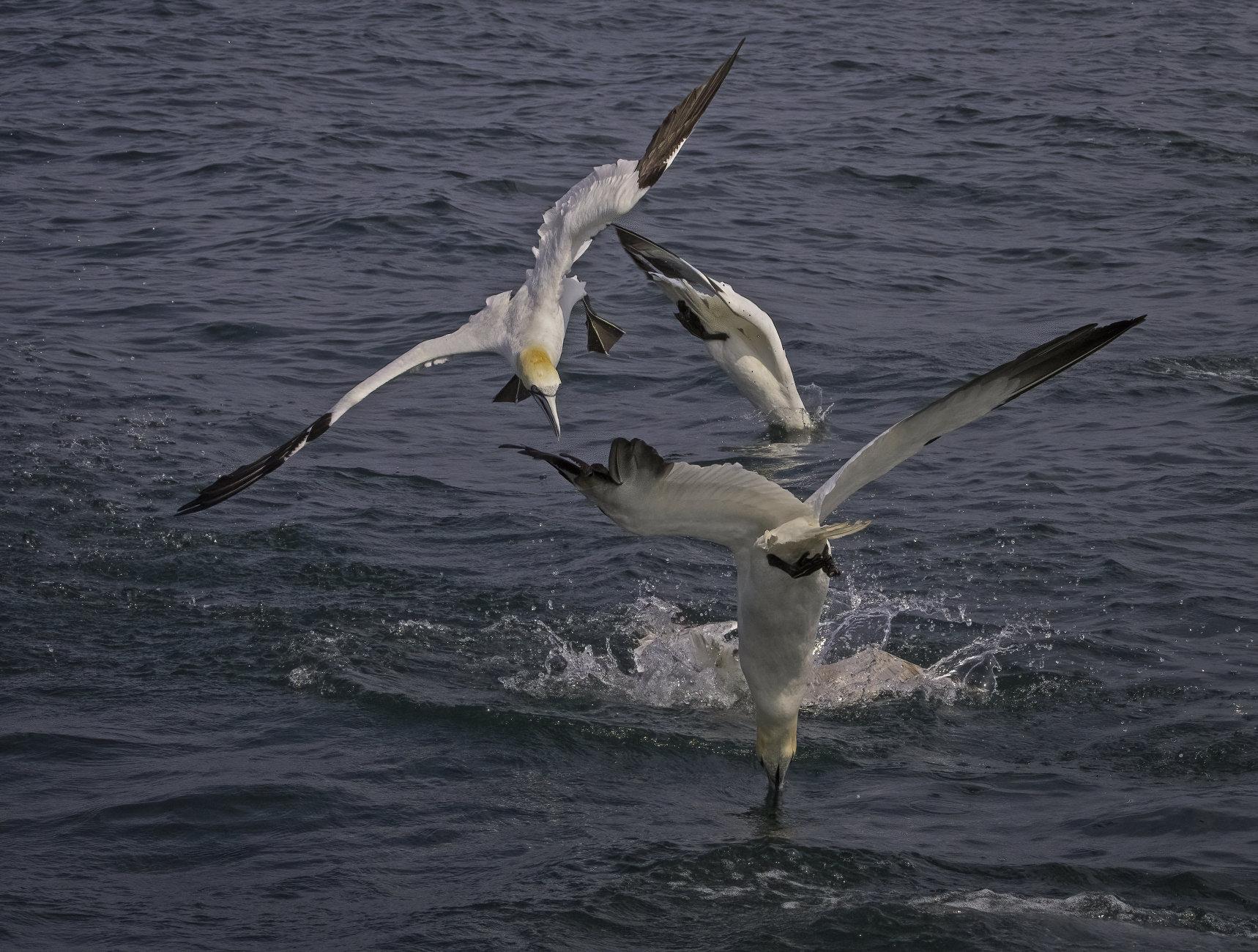 The Gannet Dive