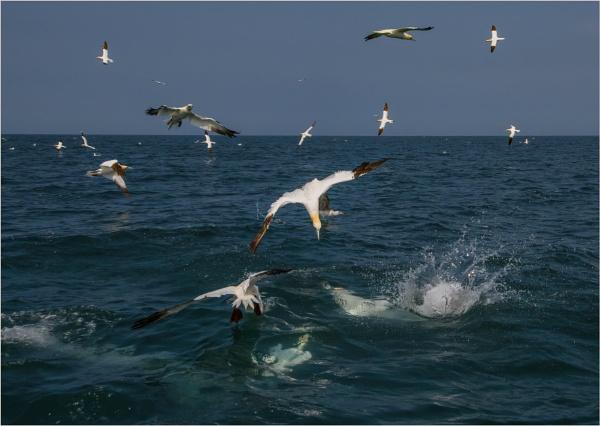 Gannets feeding by mjparmy