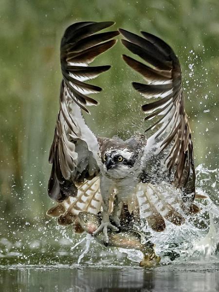 Success - Osprey with rainbow trout by Jamie_MacArthur