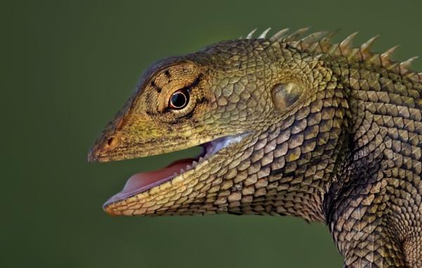 Oriental garden lizard by Shibram