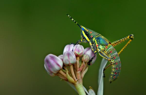 Grasshopper by Shibram
