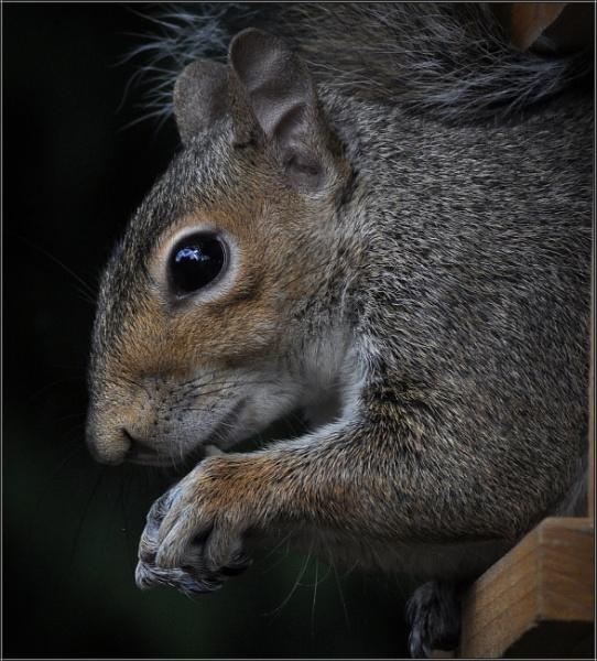 Garden Squirrel by PhilT2
