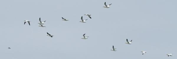Thirteen Gannets and a Razorbill.... by Alan_Baseley