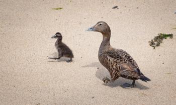 Female Eider with Duckling