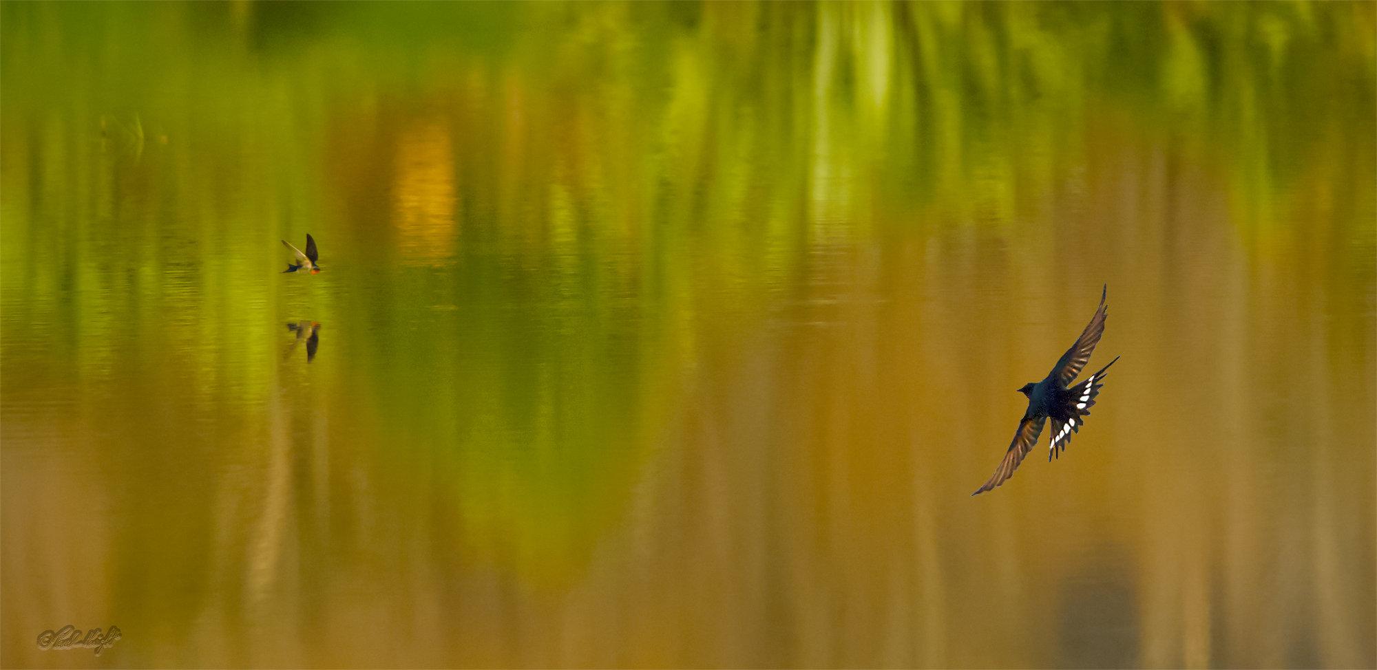 Swallows over Chrystall's Lagoon, Otaki, N.Z #0051