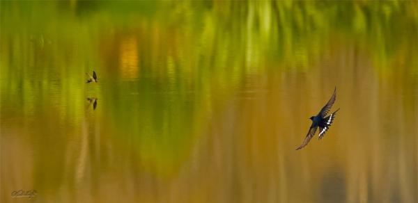 Swallows over Chrystall\'s Lagoon, Otaki, N.Z #0051 by paulknight