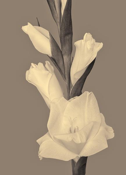 Gladioli by Dallachy