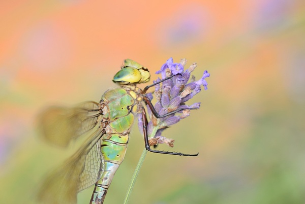 dragonfly by ruurd