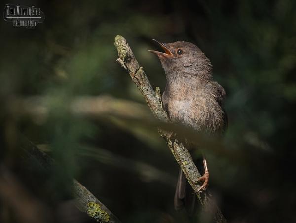 Juvenile Dartford Warbler by MartinWait