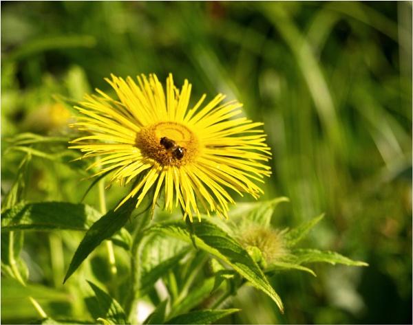 Bee on bloom by JuBarney