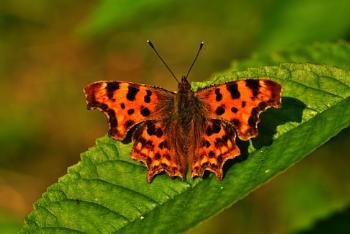 Butterfly Comma
