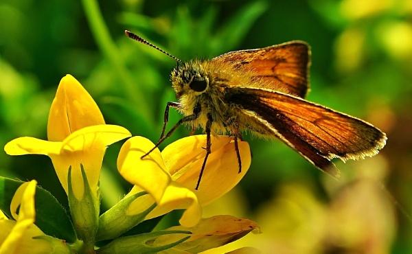 Butterfly Skipper. by georgiepoolie