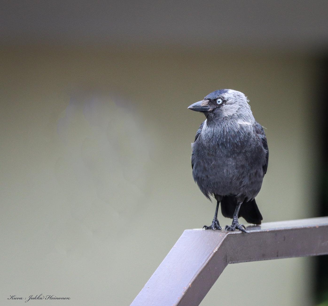 Jackdaw on a railing.