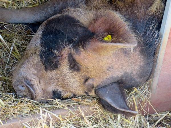 Slumbering Pig by ddolfelin