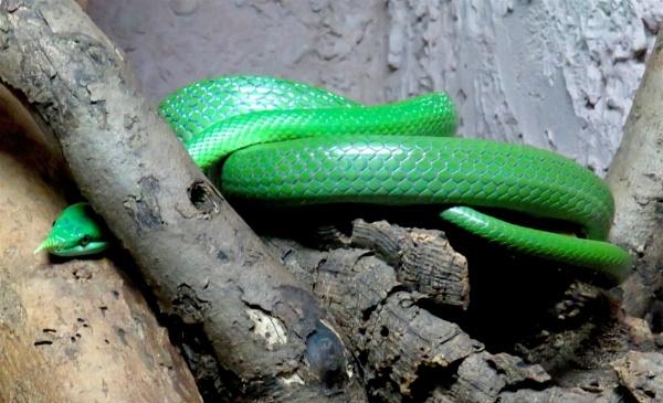 Snake by ddolfelin
