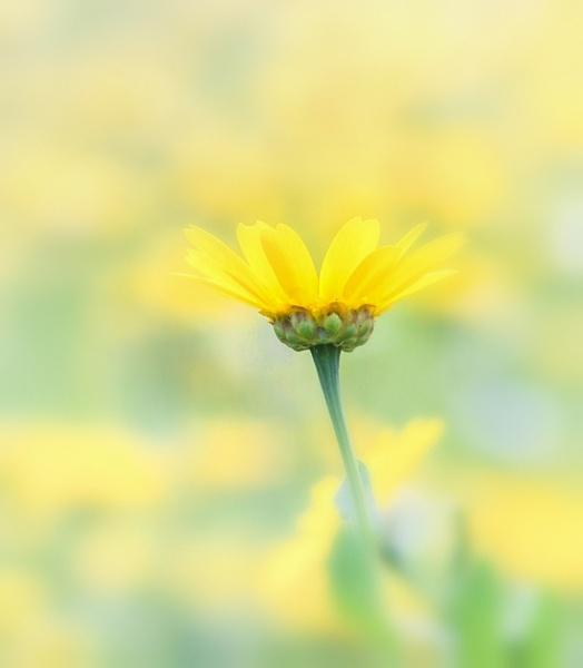 Corn Marigold. by 2479