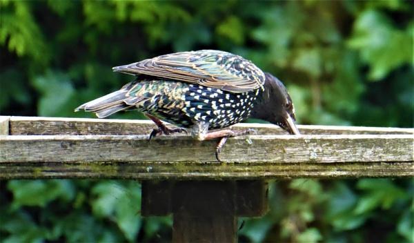 starling by jenny007
