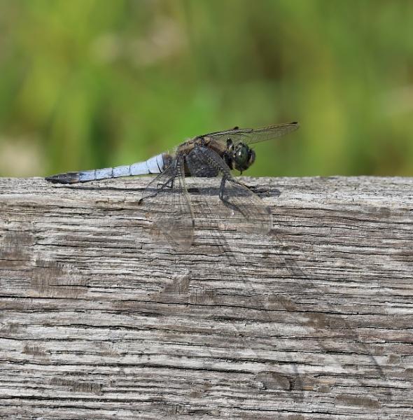 Black-tailed Skimmer by Steveo28