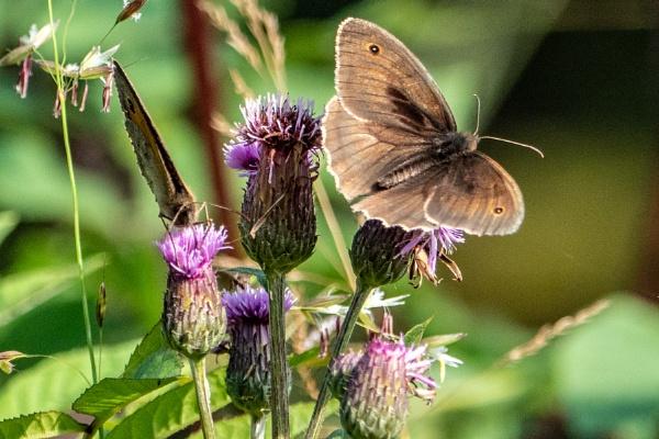 Meadow Brown Butterfly by jimobee