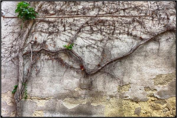 dry grapevine by FabioKeiner