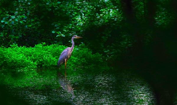 Heron at Cranbrook pond by af1