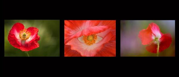 Poppy Study by flowerpower59