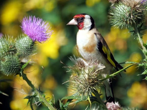 Goldfinch on thistle by DerekHollis
