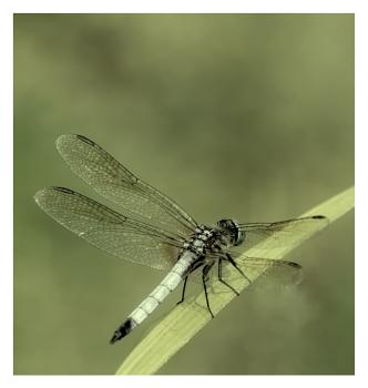 Blue Dasher --de-saturated