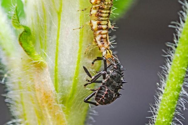 Predatory larvae by aldasack1957