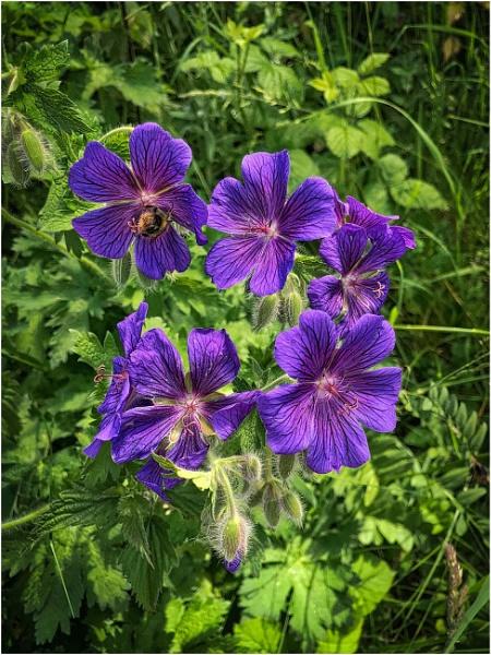 Geraniums by sueriley