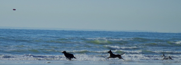 Dogs chasing frizbee by rustyshackleford
