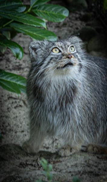 Pallas Cat by RonDM