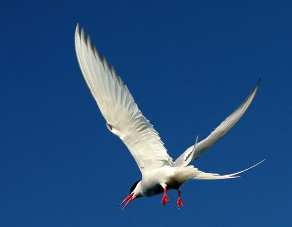 Noisy Tern by mikekay