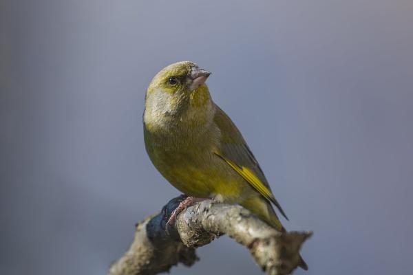Greenfinch by robert61
