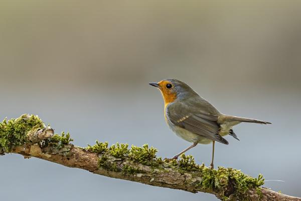 Robin by robert61