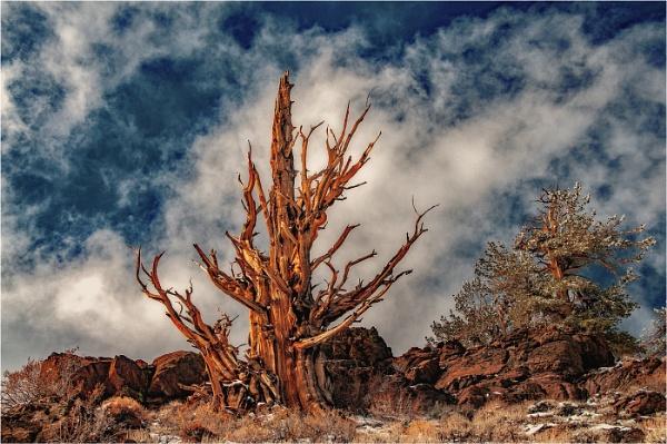 Bristlecone Tree by dven