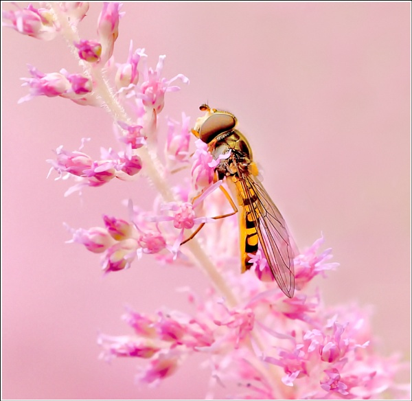 In the Pink. by bricurtis