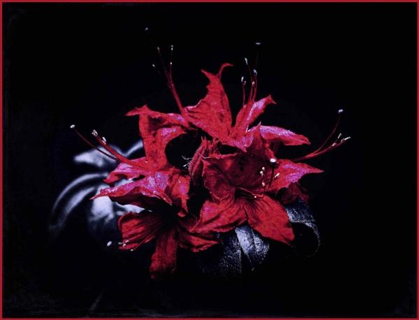 Red Azalea by adagio