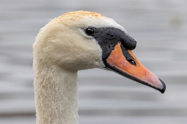 Swan-ing around by garyphotos