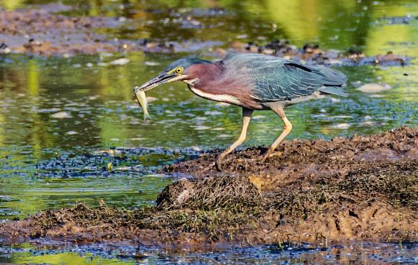 Green Heron by TDP43