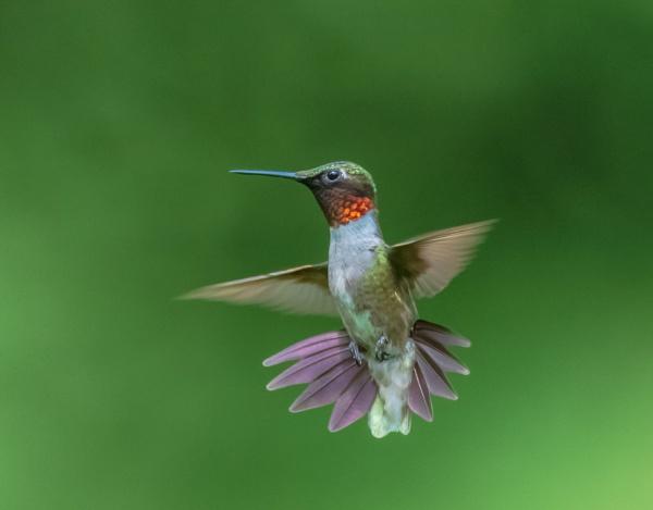 Ruby-throated Hummingbird by TDP43