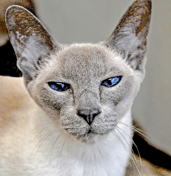 Siamese - Please!. by Selby