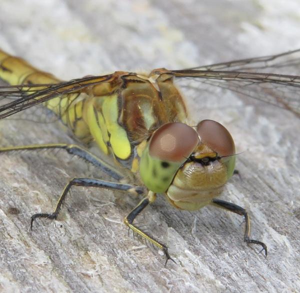 Dragonfly by Samantha011208