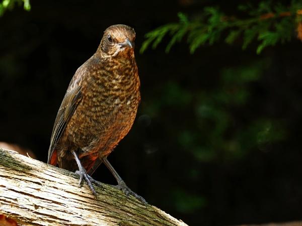 Female Blackbird II by rfhfoto