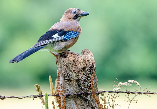 Jay by phil_j