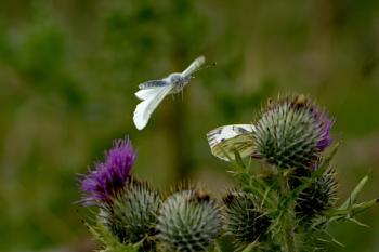 A Pair Of White Butterflies.
