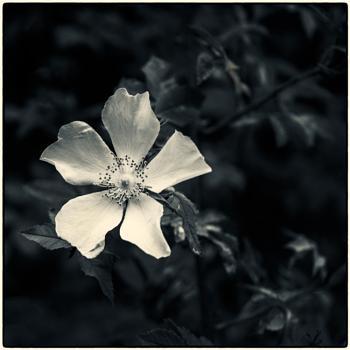 Rose among the Shadows