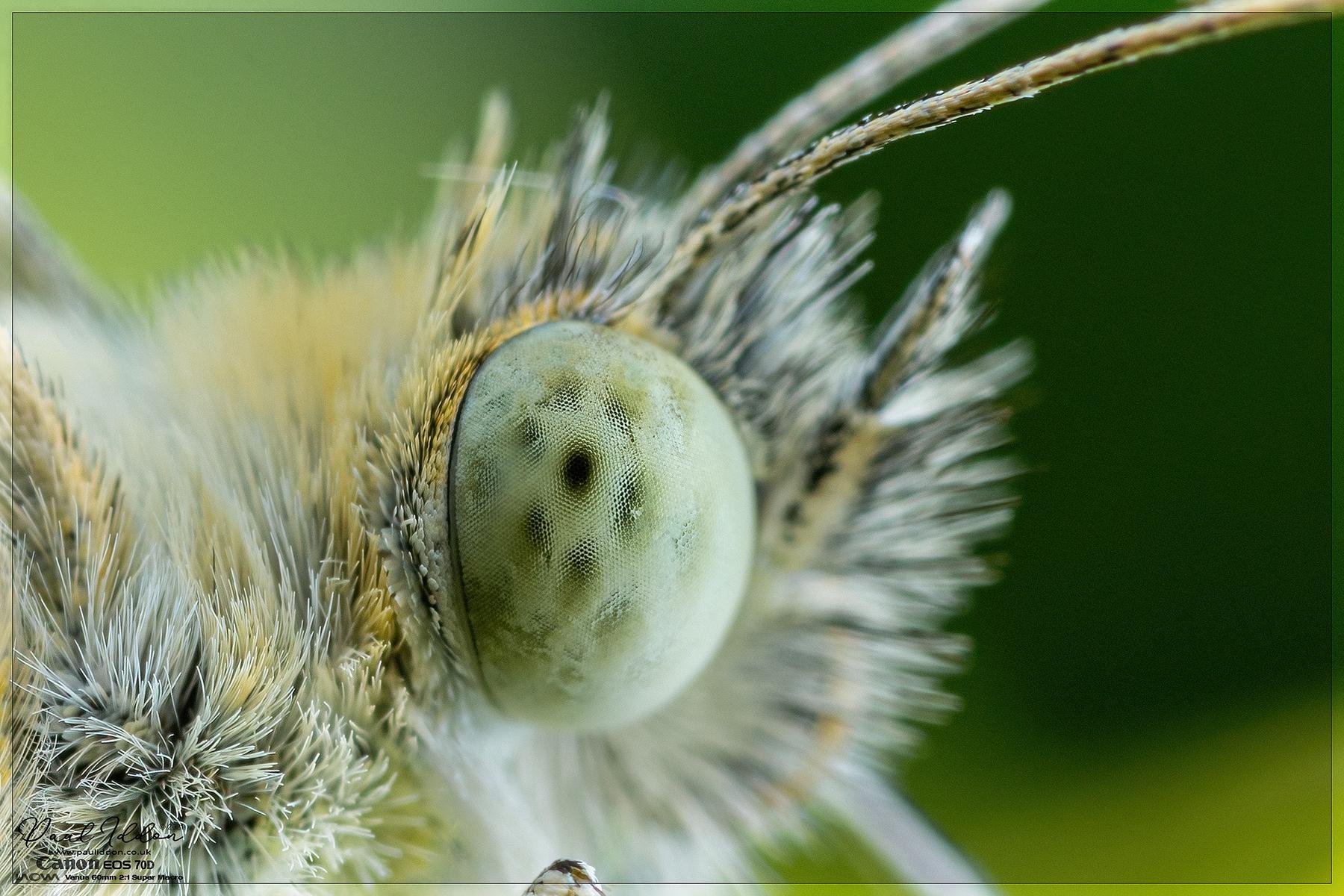 Small white's eye