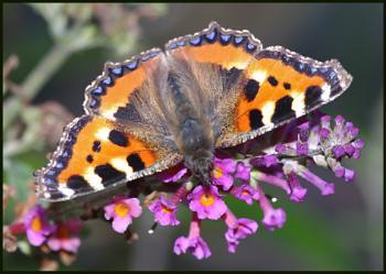 Small Tortoiseshell Butterfly :-