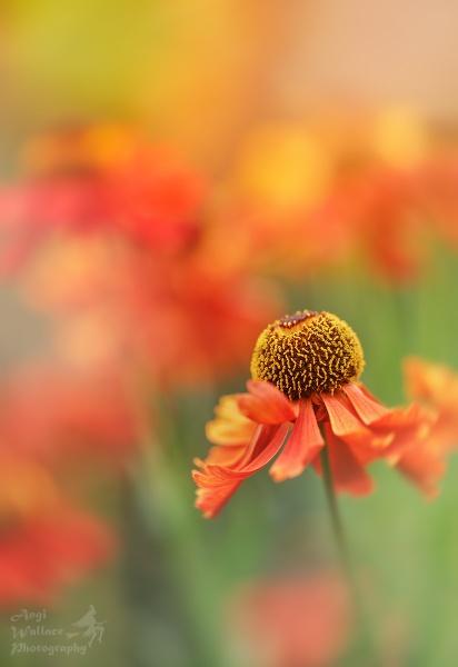 Helenium by Angi_Wallace